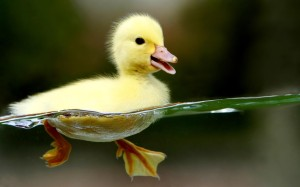 free-widescreen-animals-duckling_100458